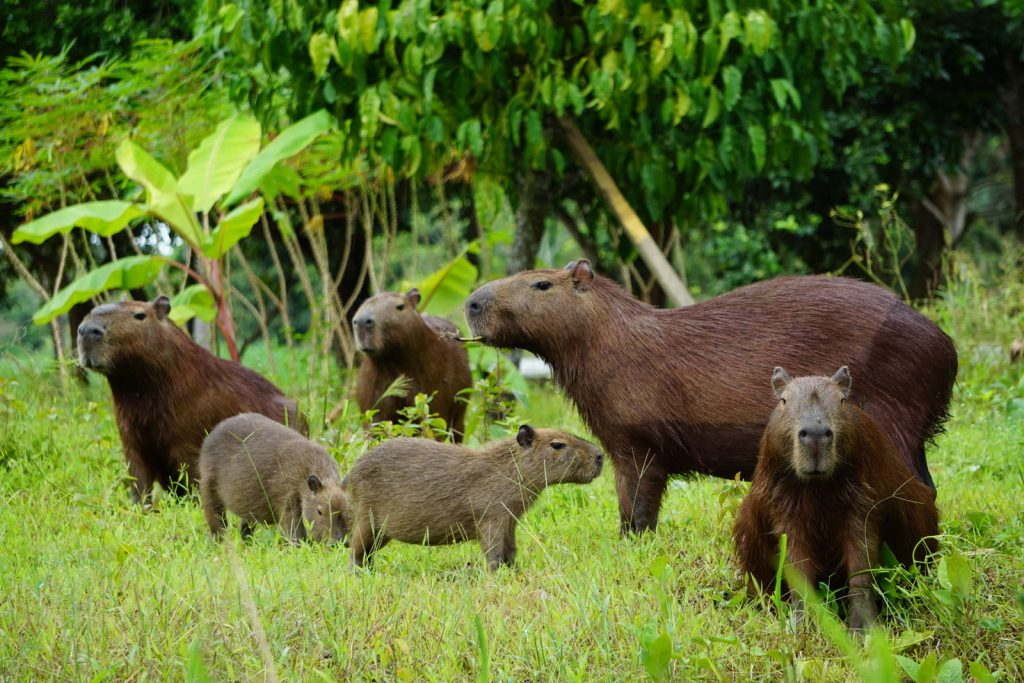 Capybaras, the biggest rodents in the world – seen on the Amazon Jungle Tour Bolivia in CHUCHINI, Trinidad, Beni.