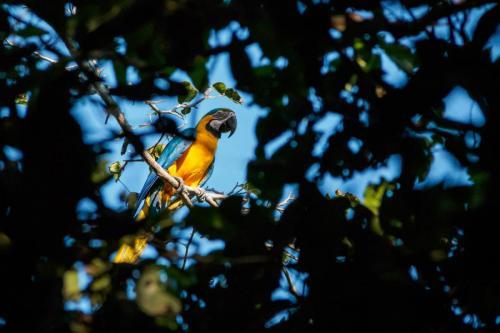 Blue Macaw Parrot Bolivia